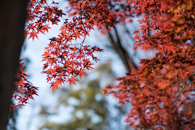 Photos: 20薬師池公園【菖蒲田右側の紅葉】22
