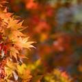 Photos: 21薬師池公園【菖蒲田右側の紅葉】23