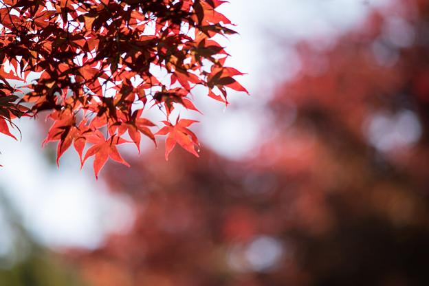 22薬師池公園【菖蒲田右側の紅葉】24