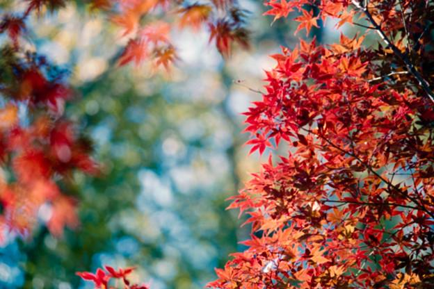 Photos: 17薬師池公園【菖蒲田右側の紅葉】15銀塩NLP