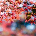 Photos: 25薬師池公園【菖蒲田右側の紅葉】27銀塩