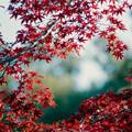 Photos: 24薬師池公園【菖蒲田右側の紅葉】26銀塩NLP