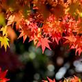 44京都紅葉狩り【下鴨神社:紅葉】2