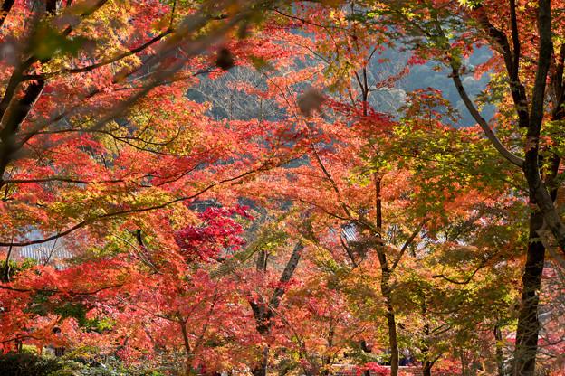 62京都の紅葉【永観堂:紅葉のアップ】1