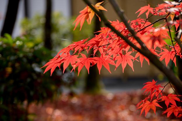 66京都の紅葉【永観堂:紅葉のアップ】5