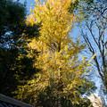 Photos: 09都心紅葉名所巡り【小石川後楽園:塀沿いに映えるイチョウ】
