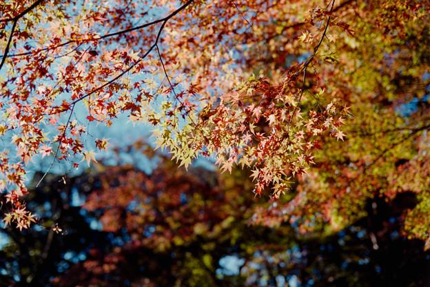 15都心紅葉名所巡り【旧古河庭園:心字池周辺の紅葉】4銀塩NLP