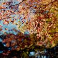 Photos: 15都心紅葉名所巡り【旧古河庭園:心字池周辺の紅葉】4銀塩NLP