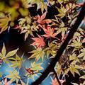 26都心紅葉名所巡り【新宿御苑:日本庭園近辺の紅葉】6銀塩NLP