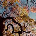 Photos: 27都心紅葉名所巡り【新宿御苑:タムケヤマはほぼ終わり】銀塩NLP