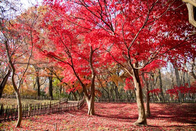 05神代植物公園【かえで園の紅葉】5