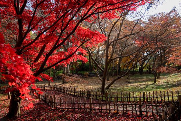 06神代植物公園【かえで園の紅葉】6
