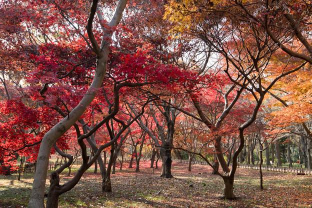 03神代植物公園【かえで園の紅葉】3