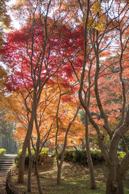 07神代植物公園【かえで園の紅葉】7