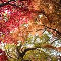 08神代植物公園【かえで園の紅葉】8