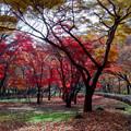 10神代植物公園【かえで園の紅葉】1銀塩