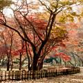 11神代植物公園【かえで園の紅葉】2銀塩NLP