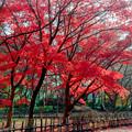 12神代植物公園【かえで園の紅葉】3銀塩