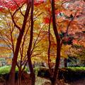13神代植物公園【かえで園の紅葉】4銀塩