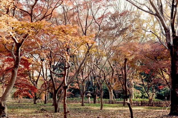 14神代植物公園【かえで園の紅葉】5銀塩NLP