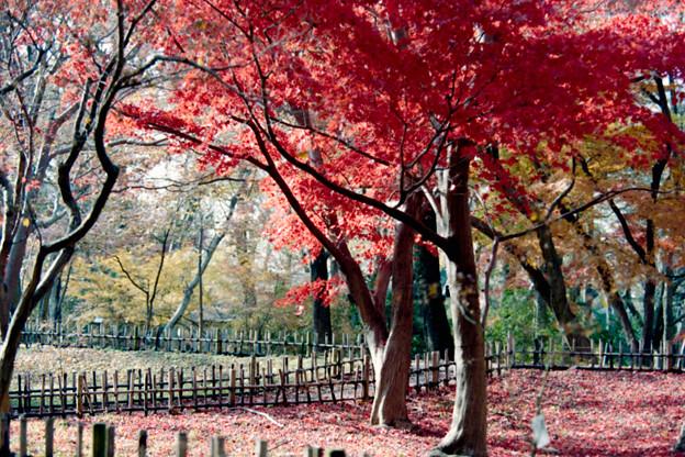 15神代植物公園【かえで園の紅葉】6銀塩NLP