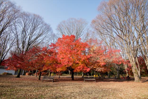 19神代植物公園【自由広場の紅葉】14