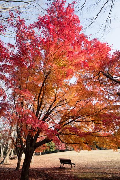 22神代植物公園【自由広場の紅葉】17
