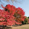 18神代植物公園【自由広場の紅葉】13