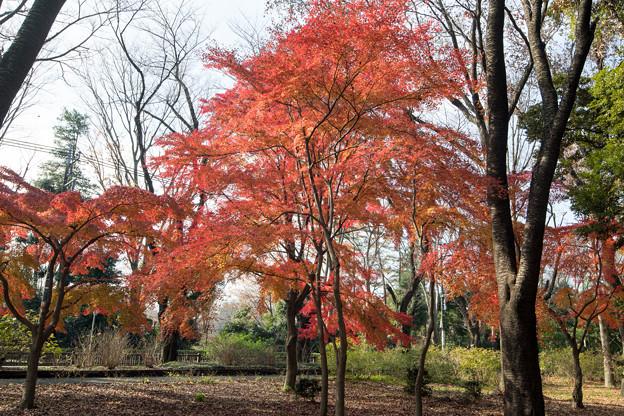 Photos: 23神代植物公園【自由広場の紅葉】18