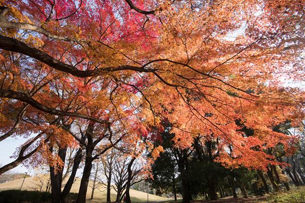 25神代植物公園【自由広場の紅葉】22