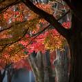 26神代植物公園【自由広場の紅葉】23