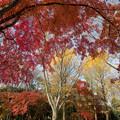 28神代植物公園【自由広場の紅葉】25