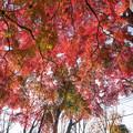 27神代植物公園【自由広場の紅葉】24