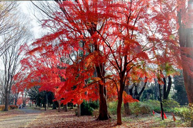33神代植物公園【自由広場の紅葉】31銀塩