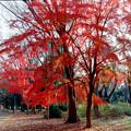 Photos: 33神代植物公園【自由広場の紅葉】31銀塩