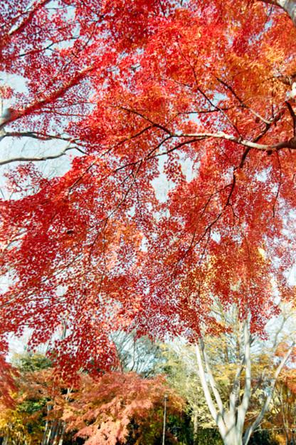 Photos: 35神代植物公園【自由広場の紅葉】33銀塩NLP