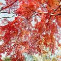 35神代植物公園【自由広場の紅葉】33銀塩NLP