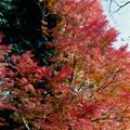36神代植物公園【自由広場の紅葉】34銀塩NLP