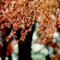 37神代植物公園【自由広場の紅葉】35銀塩NLP