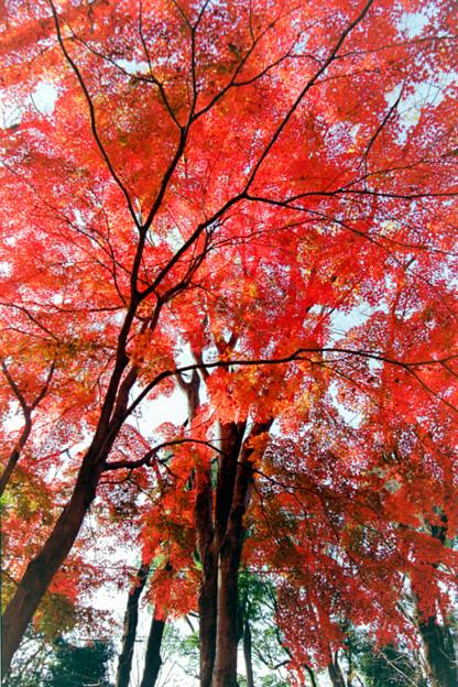 38神代植物公園【自由広場の紅葉】36銀塩