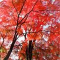 Photos: 38神代植物公園【自由広場の紅葉】36銀塩