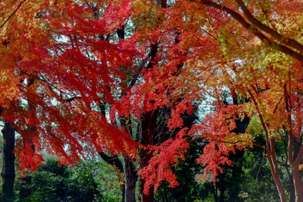 Photos: 39神代植物公園【自由広場の紅葉】37銀塩