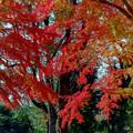 39神代植物公園【自由広場の紅葉】37銀塩