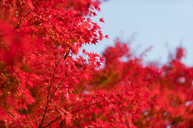 32神代植物公園【自由広場の紅葉】29