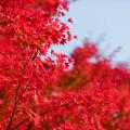 Photos: 32神代植物公園【自由広場の紅葉】29