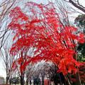 34神代植物公園【自由広場の紅葉】32銀塩