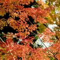 40神代植物公園【自由広場の紅葉】38銀塩NLP