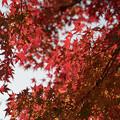 42神代植物公園【築山付近の紅葉】2