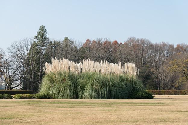 43神代植物公園【パンパスグラス】1