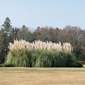 Photos: 43神代植物公園【パンパスグラス】1